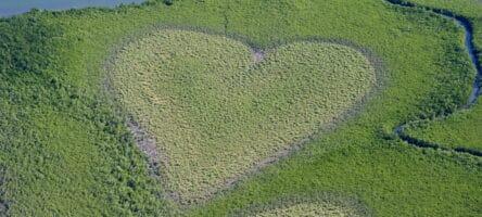 Heart Shaped Mangrove